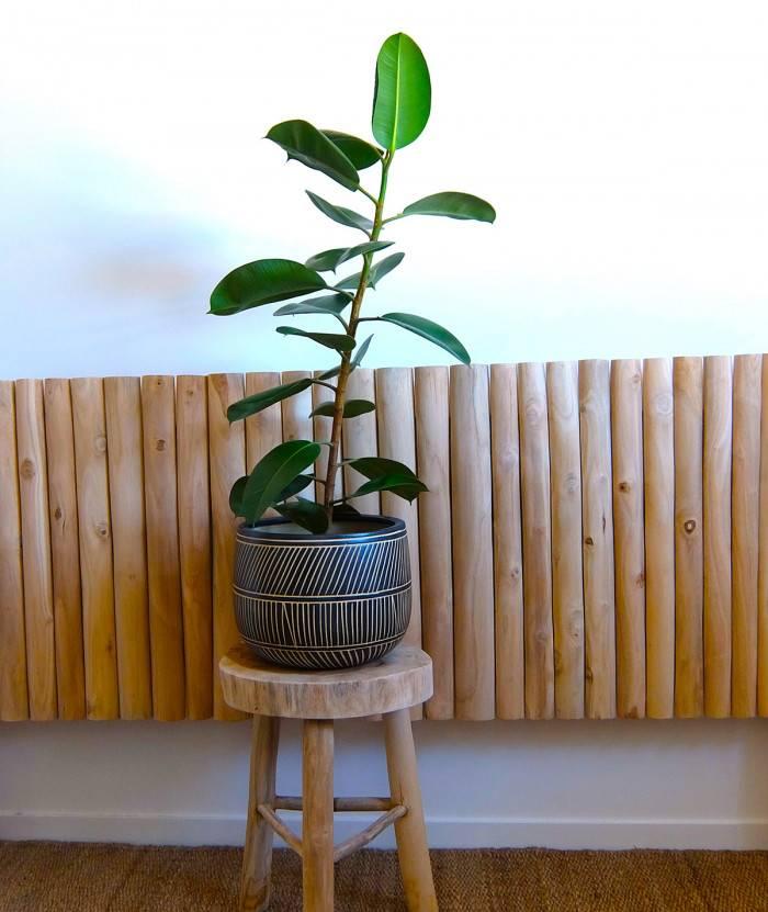 Ficus interieur